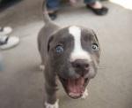 pitt puppy