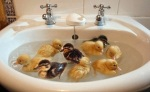 sink of ducks