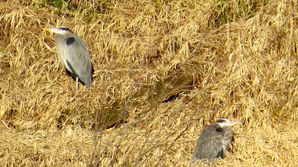 Sun Bathing Blue Herons