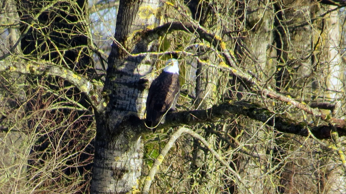 Our Majectic Bald Eagle