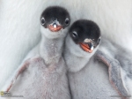 Gentoo Penguin Chicks, Antarctica  Photograph by Richard Sidey