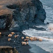 07-polar-bears-summer-congregation-670