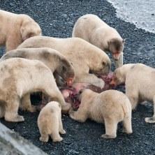 08-polar-bears-feast-670
