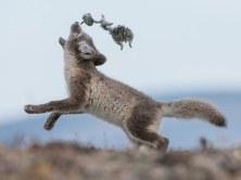 09-arctic-fox-pup-670