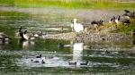 lone Trumpeter Swan